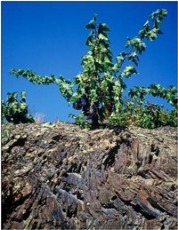Old vine Garnacha vineyard, Priorat, Spain